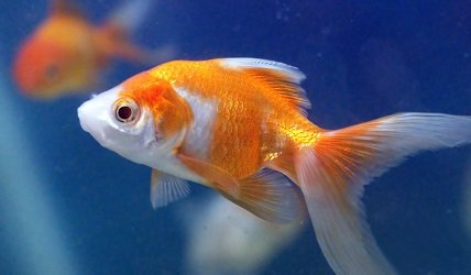 Goldfish victims of their own success