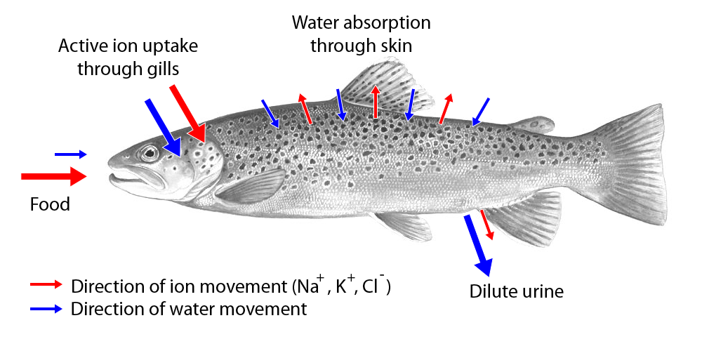 Movement of water and ions in freshwater fish