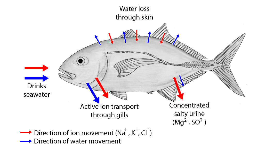 Movement of water and ions in saltwater fish